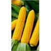 Насіння кукурудзи «Хмельницький» F1 - 10 насінин